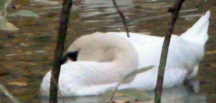 Klaus, der Schwan vom Südpark, ermordet