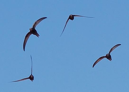 Mauersegler am Himmel (Bild: Wikimedia)