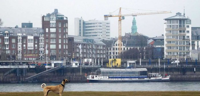 Ein Windhund namens Clooney auf der Oberkasseler Rheinwiese